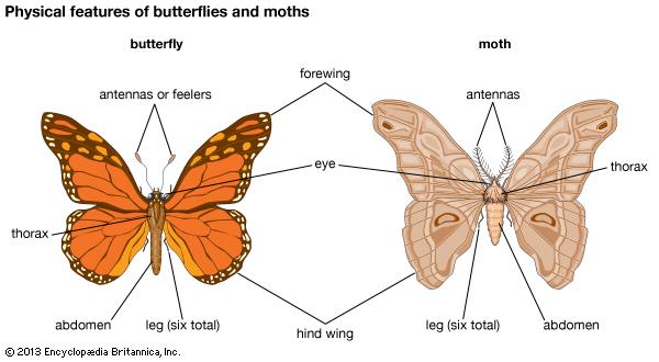 moths-butterflies-differences